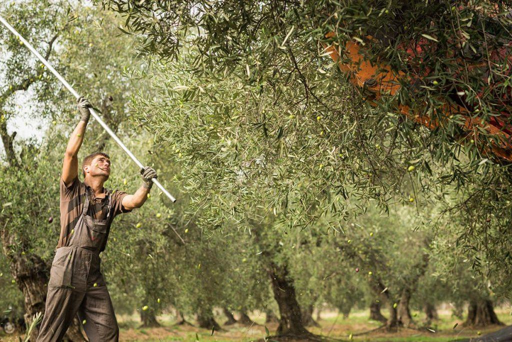 olive oil harvesting
