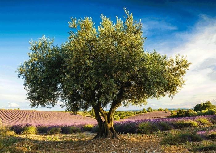 το δέντρο της ελιάς ελαιώνας