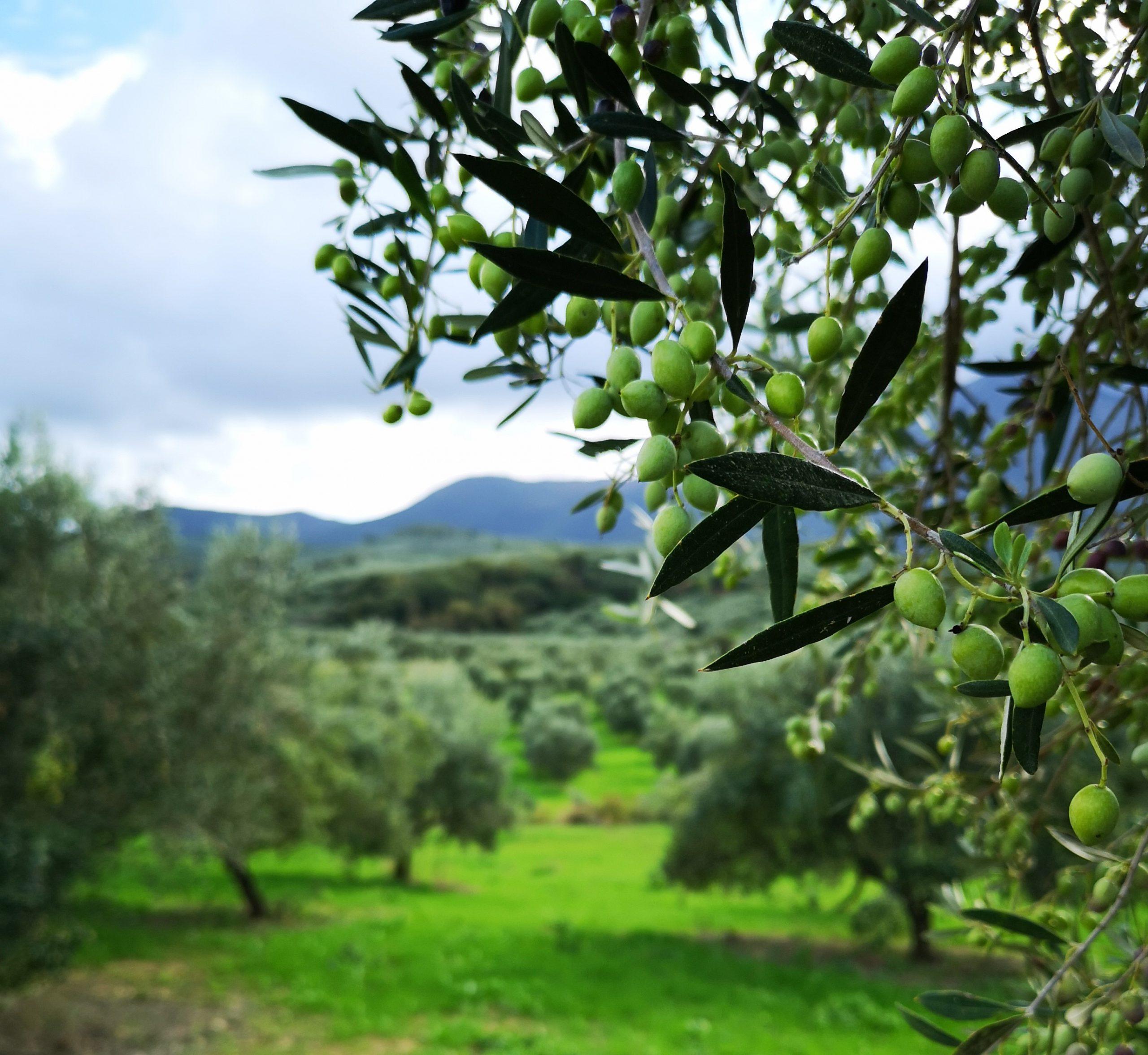 το δέντρο της ελιάς καρπός ελιάς έτοιμο για συγκομιδή