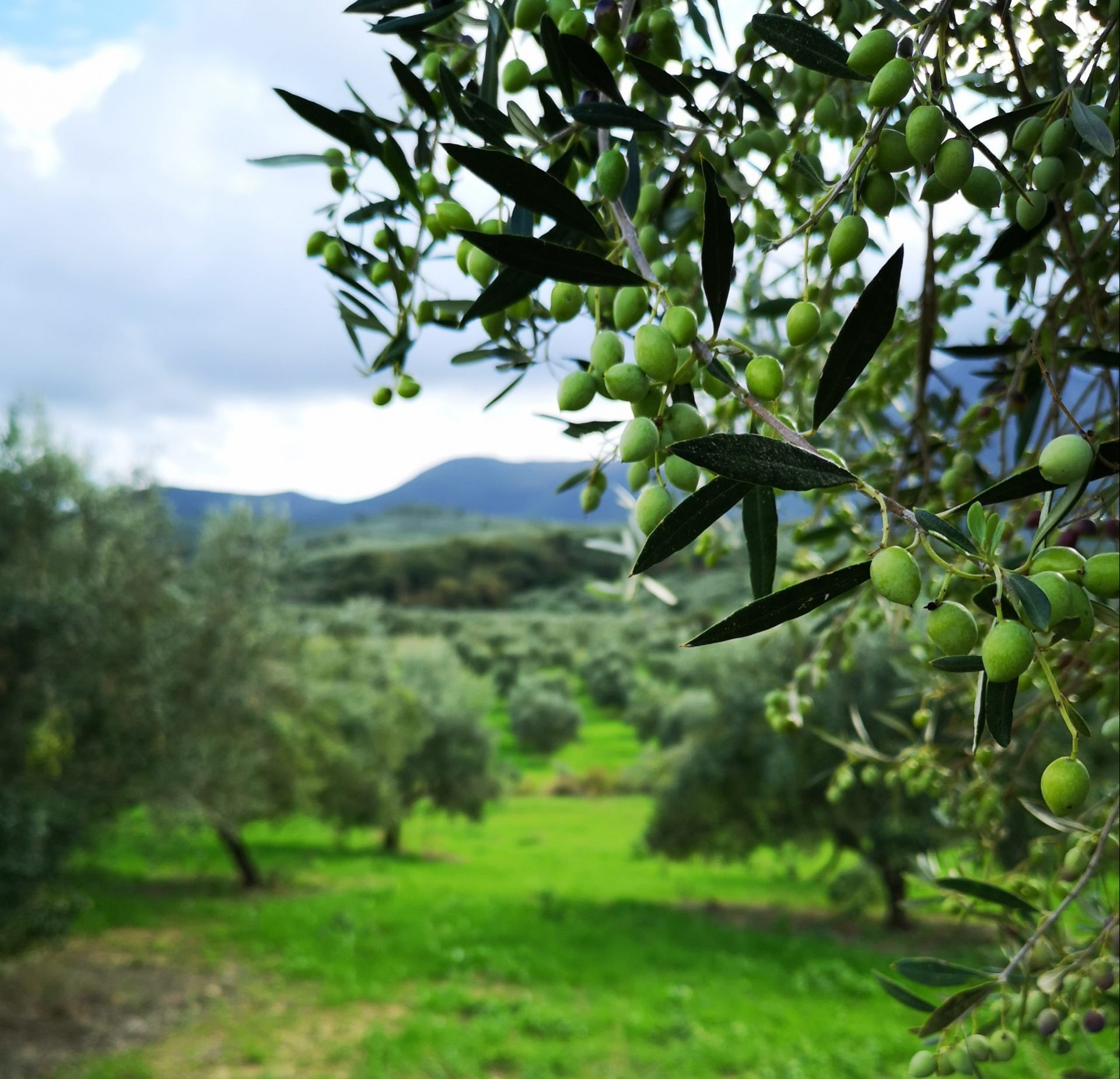 olive tree ready to harvest